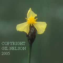 Yellow-Eyed Grass (Xyris ambigua)