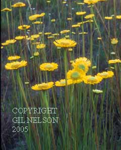 Spring Helenium (Helenium vernale)